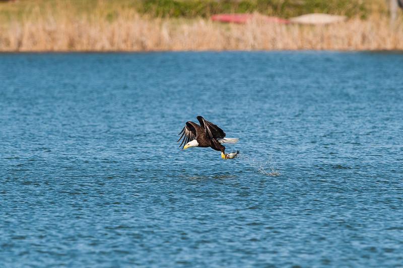 LJ Bald Eagle (1 of 7).jpg