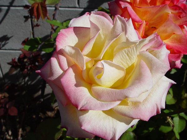 2005 Roses