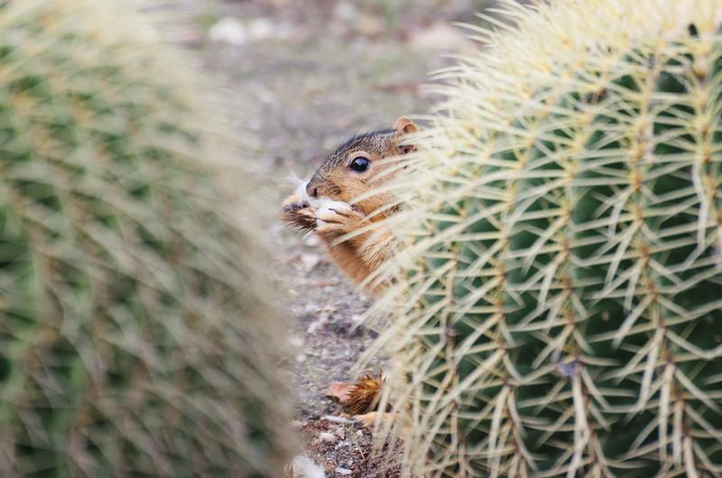 Squirrel at the Huntington Gardens.