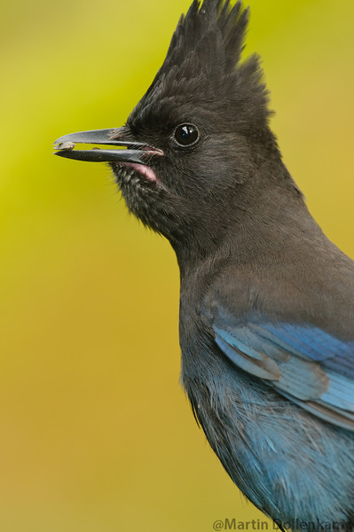 Steller's Jay, they  show up in the fall and are mayhem, we go through lots of food with them around they stuff there crops and hide it all over the yard, the other birds like the Junco's and Towhee's scratch and find it so the yard ends up being one big bird feeder.