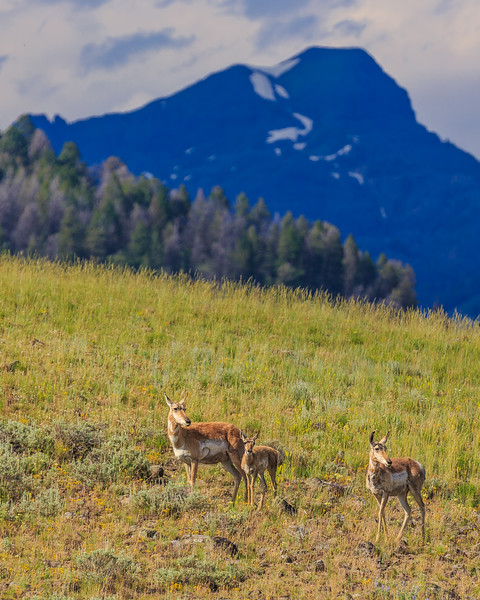 Pronghorn and Purple Mountains