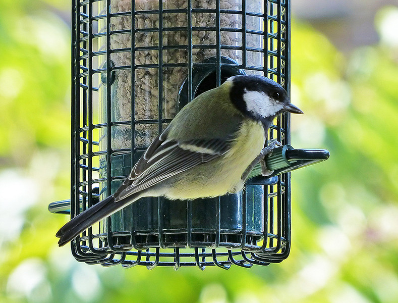 002 Great Tit 1024.jpg