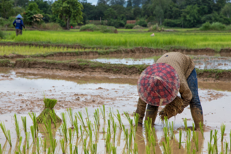 Rice Farming in Laos