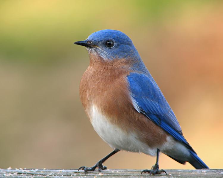 bluebird_1911.jpg