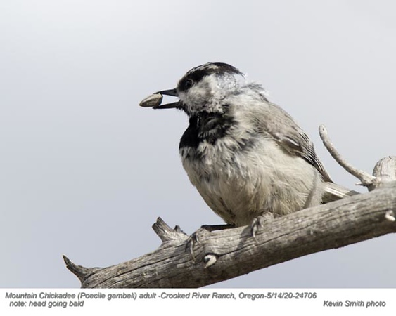 Mountain Chickadee A24706.jpg