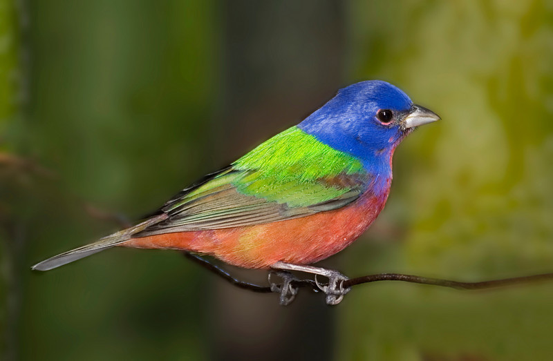 Painted Bunting one.jpg