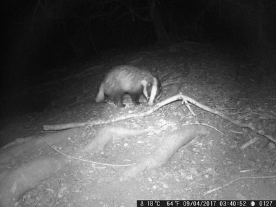 Badger Cam 2 - A New Sett