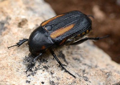 Diaphonia dispar (Cetoniinae)