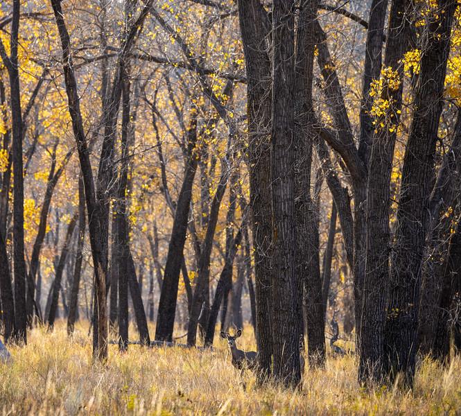 Mule Deer Theodore Teddy Roosevelt National Park Medora ND IMGC0859-2.jpg