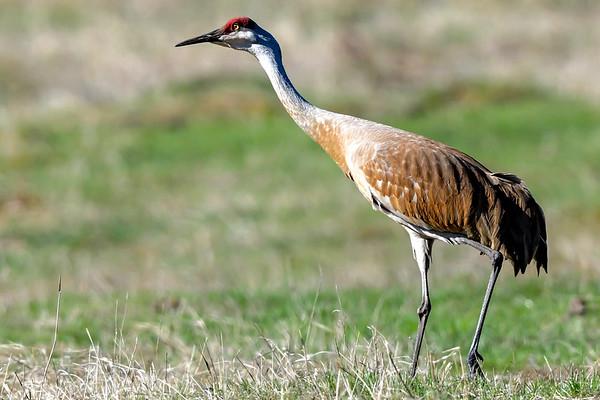 5-13-18 Sandhill Cranes