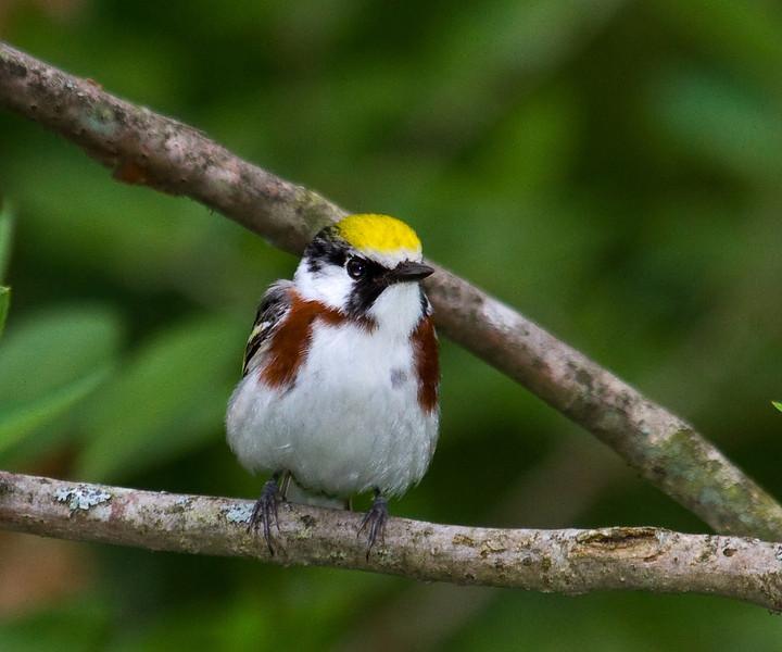 chestnutt sided warbler