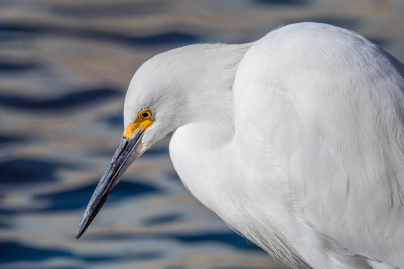 Bolsa Chica Ecological Reserve, Snowy Egret (Egretta thula)
