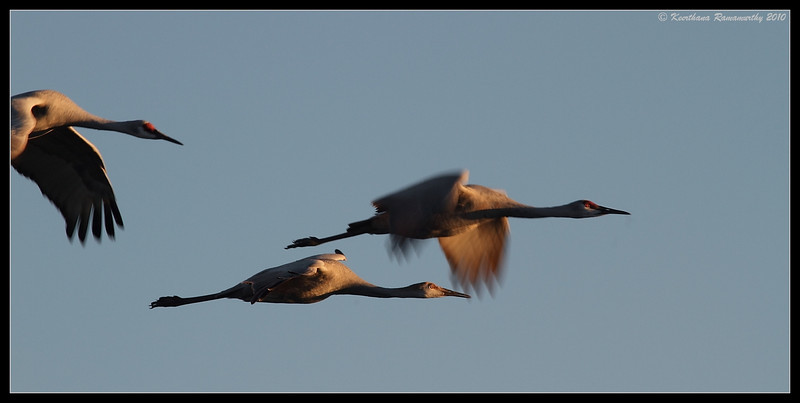 Sandhill Cranes at sunset, Bosque Del Apache, Socorro, New Mexico, November 2010