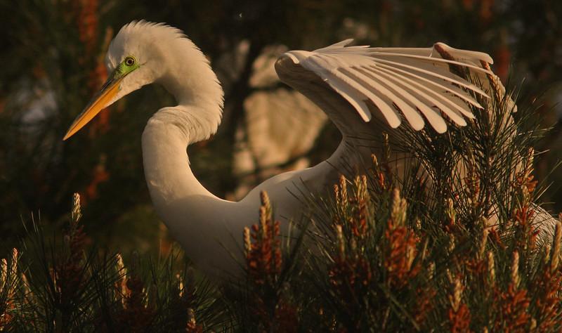 WB~Rookery Egret Tree profile1280.jpg