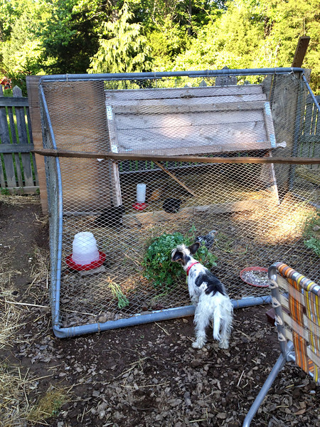 By five weeks, they were strong enough to be outside. I also rigged up a light in the top of the coop for cool nights.    I felt the chicks really needed more space to run about, so Stephen decided the old Soccer goal was just the thing, and brought it into the garden to create a make shift run.  It was a step in the right direction, but difficult to work around. Charlie Anne was getting used to them as well.   I began lobbying for a better solution and began to research the world wide web.