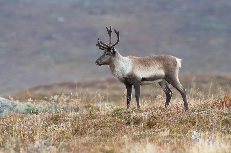 Reindeer , Ren