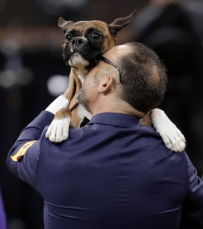 . Handler Diego Garcia lifts up boxer Devlin after she won the working group competition during the 141st Westminster Kennel Club Dog Show, Tuesday, Feb. 14, 2017, in New York. (AP Photo/Julie Jacobson)