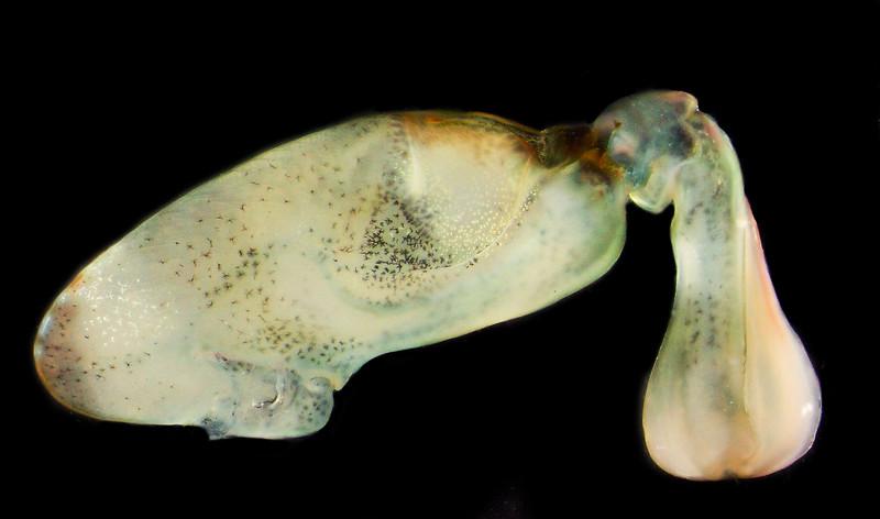 Haptosquilla trispinosa raptorial appendage