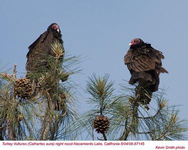 TurkeyVulturesA87145.jpg