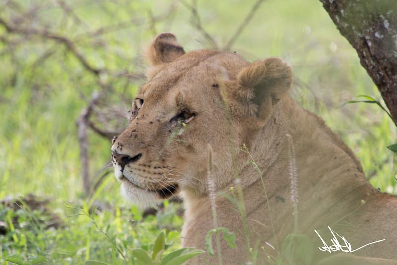 Lions Serengeti - S-2.jpg
