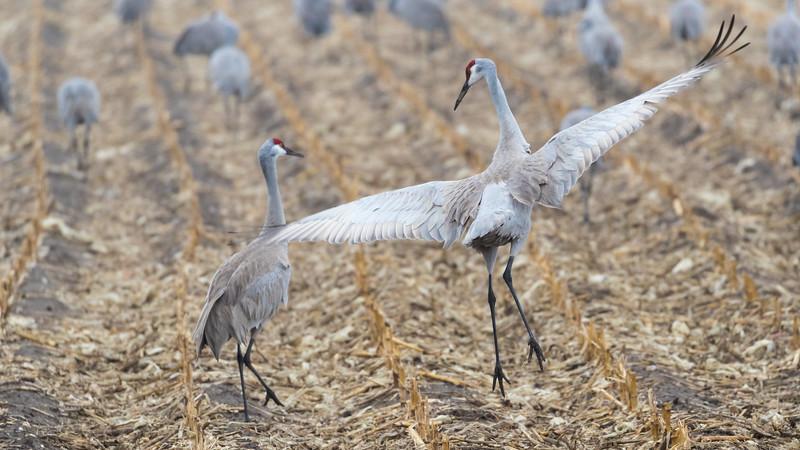 Crane18-3899.jpg