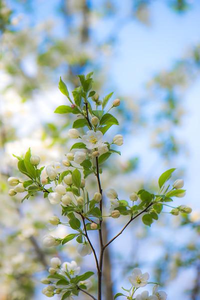 Apple Blossom 6