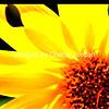 Vibrant Maximilian Sunflower