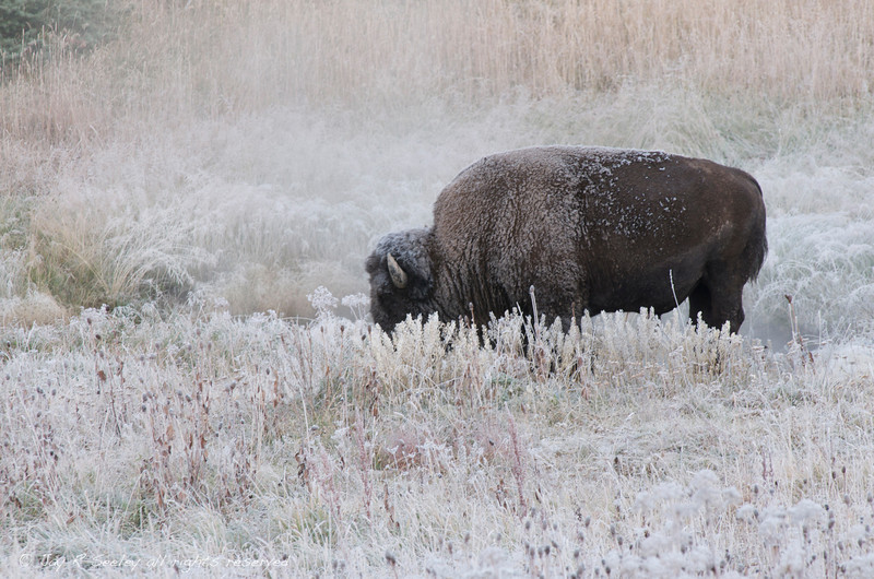 Buffalo, also known as a bison