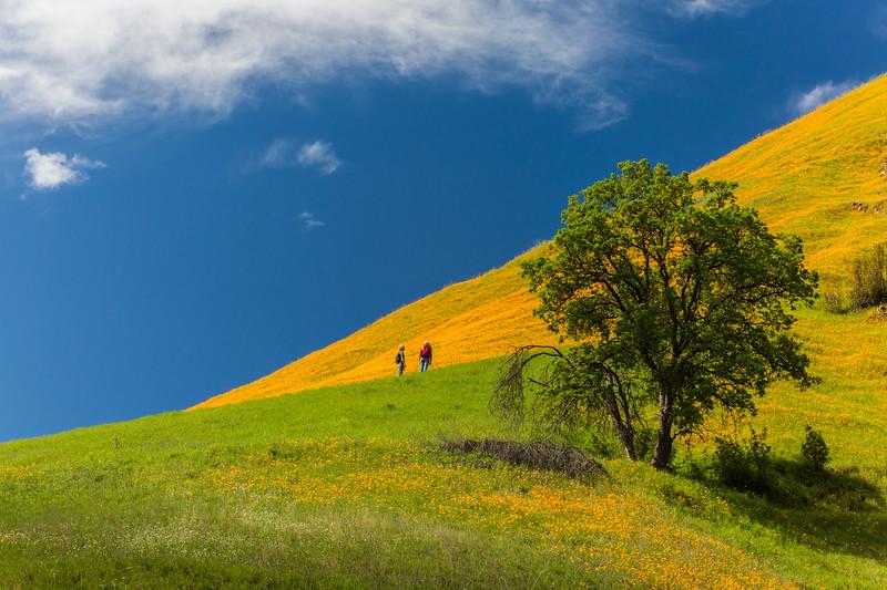 Hikers California poppies