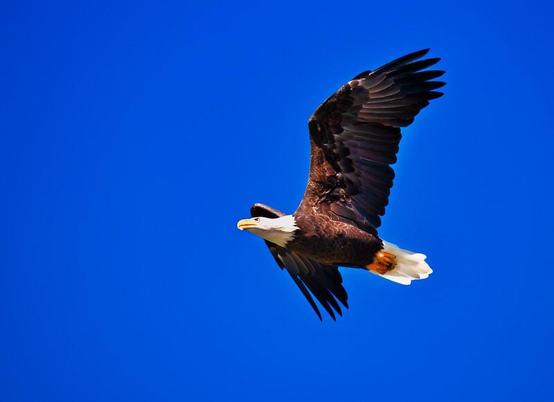 Eagle 1 (1 of 1).jpg