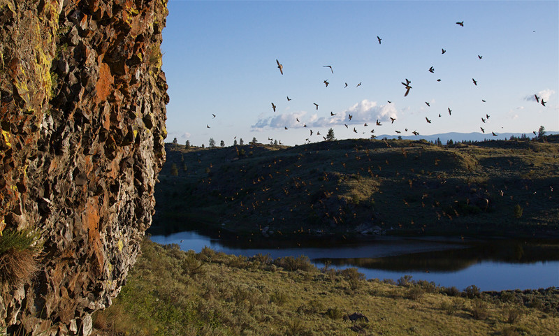 Cliff Swallows in nesting habitat