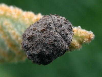 Byrrhidae - Pill Beetles