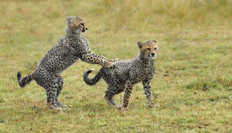 Cheetah-cubs-playing-masaimara-1.jpg