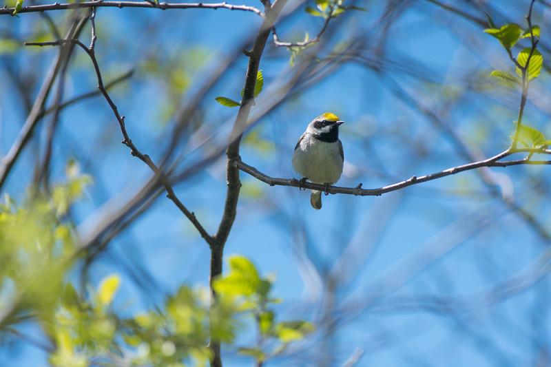 Golden-winged Warbler Sax-Zim Bog MN DSC08542.jpg