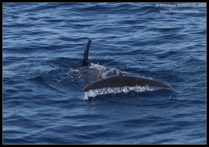 Pacific Bottlenose Dolphin Tail Flipper, Whale Watching trip, San Diego County, California, November 2012