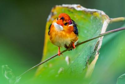 Oriental Dwarf-kingfisher [Ceyx erithaca]