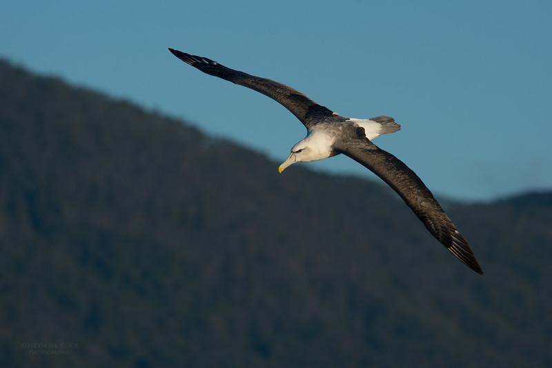 Shy Albatross, Eaglehawk Neck Pelagic, TAS, May 2016-6.jpg