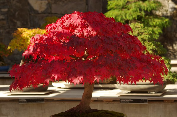 Bonsai autumn  Canberra