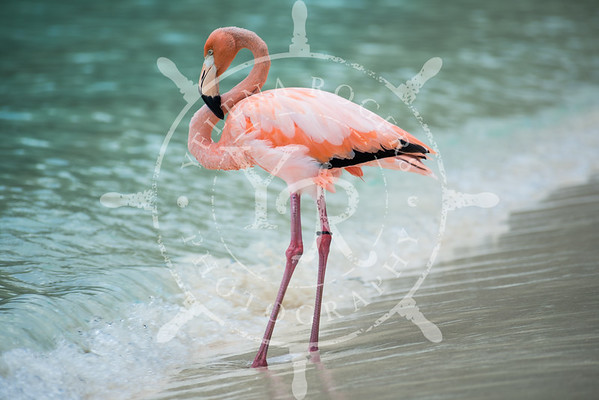 Flamingo on Trunk Bay, St. John, USVI