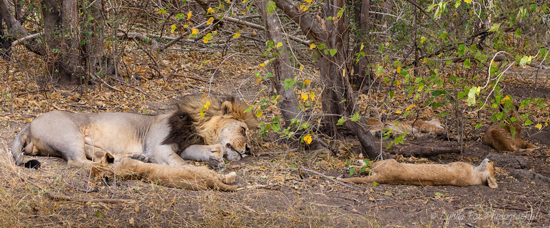 Lion Family Sound Asleep