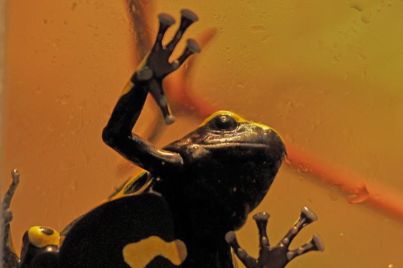 yellow dart frog.jpg