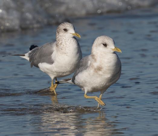 Mew Gull Larus canus