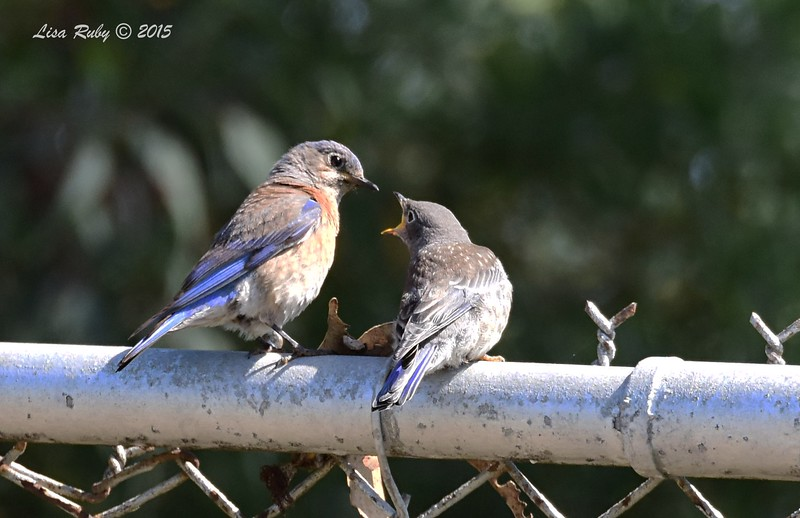 Mom and Fledgling Western Bluebirds - 5/10/2015 - Fort Rosecrans National Cemetery