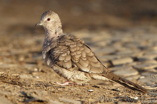 2015-01-10 Inca Dove