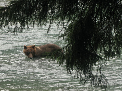 Bears (Chilkoot River, Haines, Alaska, Aug. 2008)
