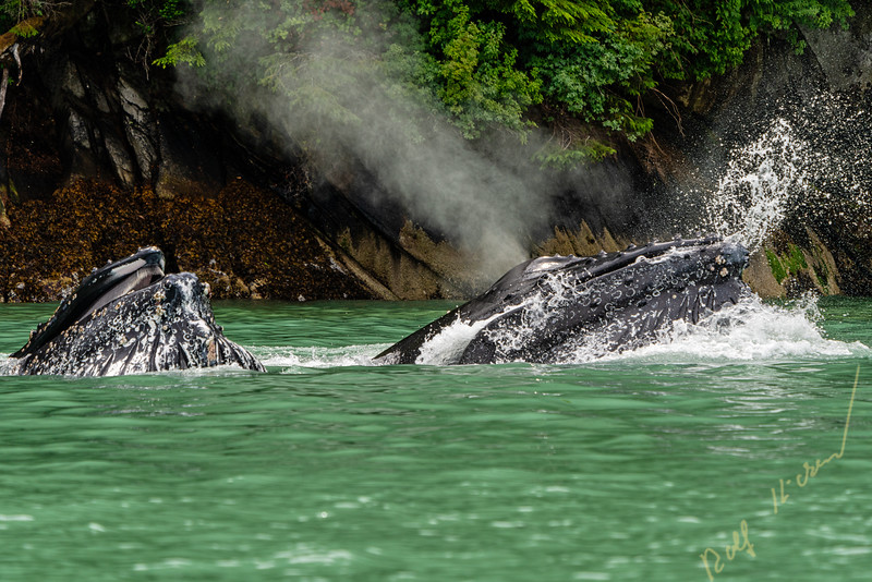 Two humpback whale lunge feeding in the green glacier feed water of Knight Inlet, First Nations Territory, Great Bear Rainforest, British Columbia, Canada.