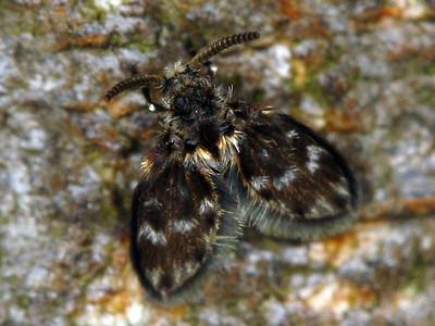 Psychodidae - Moth Flies