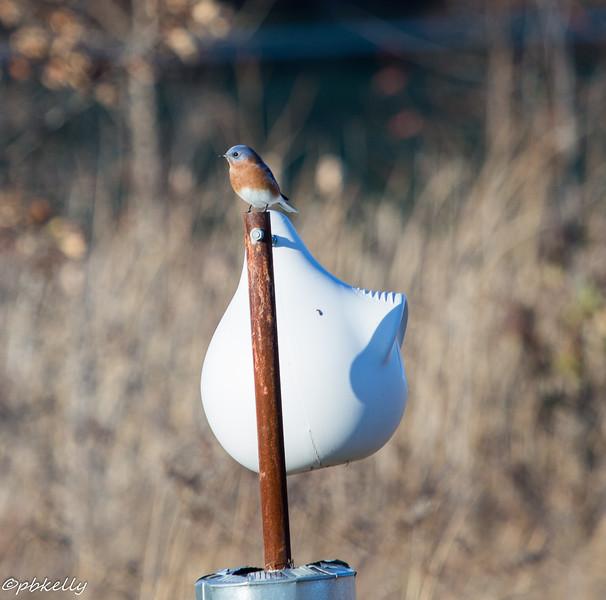 Bluebirds 111515-2.jpg
