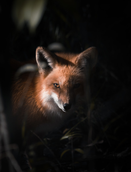 Red Fox in the Shadows