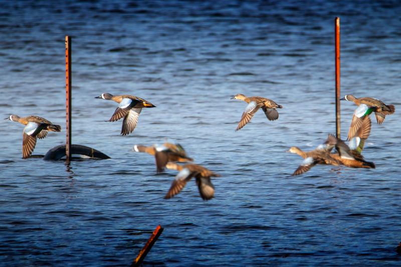 4.30.19 - Blackburn Creek Fish Nursery: Blue-Winged Teal